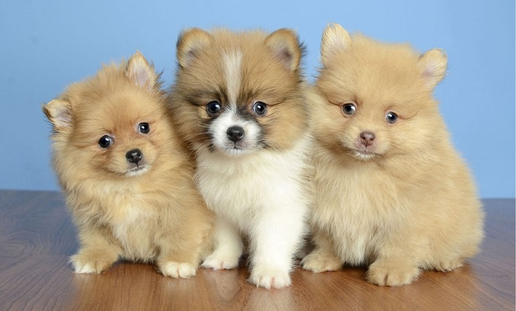 Puppies For Sale – The Various Aspects